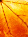 Red-yellow Maple Leaf Stock Image - 21505221