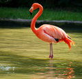 Flamingo Standing On Two Foot Royalty Free Stock Photo - 21505255