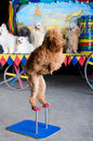 Red Poodle Standing Royalty Free Stock Image - 21529656