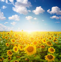 Sunflower Field Royalty Free Stock Photos - 21569888