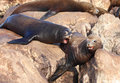 Sea Lions Royalty Free Stock Photography - 21578147