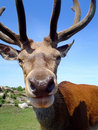 Stag Head Stock Images - 2163644