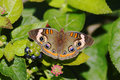 Common Buckeye Butterfly Royalty Free Stock Photography - 21631257