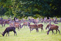 Herd Of Red Deer During Rut In Autumn Fall Royalty Free Stock Image - 21633076