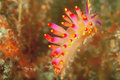 Gasflame Nudibranch Stock Image - 21637621