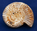 Ammonite Fossil Royalty Free Stock Photography - 21637737