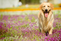 Golden Retriever Dog Royalty Free Stock Image - 21646776