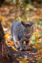 Tabby Cat S Portrait In Autumn Royalty Free Stock Images - 21666649