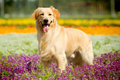 Golden Retriever Dog Royalty Free Stock Image - 21668976