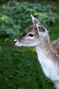 Young Wild Deer Royalty Free Stock Photography - 21671197