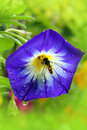 A Busy Bee In The Blue Flower Stock Photos - 21677313