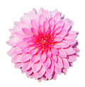 Dahlia Royalty Free Stock Images - 21679109