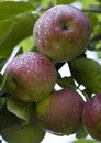 Apples Royalty Free Stock Images - 2174419