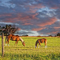 Horse And Colt Grazing Stock Photography - 21701432