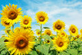 Sunflower Field Stock Photography - 21716572