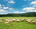 Sheeps Royalty Free Stock Images - 21754869