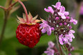 Red Wild Strawberry Near Scented Wild Thyme Stock Photos - 21764863