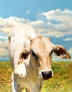 Lone Calf Stock Images - 21765394