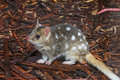 Eastern Spotted Quoll Stock Photography - 21783972