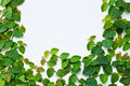 The Green Creeper Plant On The Wall Royalty Free Stock Photo - 21795055