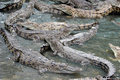 Crocodiles Royalty Free Stock Images - 2181379