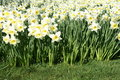 White Daffodils In Spring Royalty Free Stock Photo - 2188885