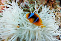 Clown Fish And Anemone - Red Sea Royalty Free Stock Image - 21803076