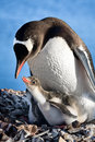 Penguins Nest Royalty Free Stock Images - 21829229