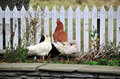 Hen And Ducks By A Fence Stock Photo - 21840920
