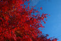 Amazing Red Leaves Against Crisp Blue Sky Stock Photo - 21843190