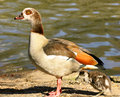 Egyptian Goose With Gosling Royalty Free Stock Images - 2194729