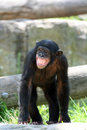 Monkey Standing Royalty Free Stock Image - 2195566