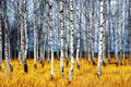 Birch Grove Stock Photos - 21955863