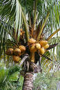 Coconuts Growing Stock Photography - 223202