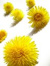 Dandelions Stock Photography - 2209122
