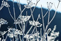 Frozen Umbel Plants Stock Photography - 22011682