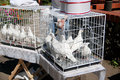 White Doves In The Coop Stock Photography - 22093442