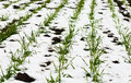 Agricultural Field Of Winter Wheat Under The Snow Stock Photos - 22126423