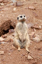 Meerkat Royalty Free Stock Photo - 22165025