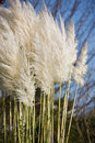 Pampas Grass Royalty Free Stock Photos - 22171798