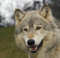 Timber Wolf (Canis Lupus) Head Royalty Free Stock Images - 2228239
