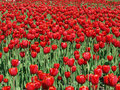 Field Of Red Tulips Stock Image - 22241801
