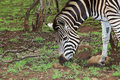 Plains Zebra Stock Photography - 22261252