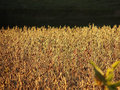 Sunlit Soybeans Royalty Free Stock Photos - 2233098
