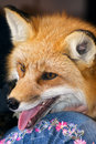 Red Fox Profile Royalty Free Stock Photo - 2235265