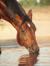 Portrait Of Drinking Bay Horse Stock Photography - 22334832
