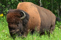 Bison Royalty Free Stock Photography - 22337947