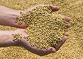 Hands With Wheat Stock Photo - 22382530