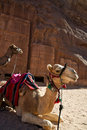 Camels Waiting For A Transport Royalty Free Stock Photos - 22390548