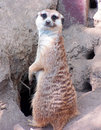 Meercat Goodbye Stock Image - 2245541